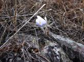 Pasque Flower on the Rocks-1