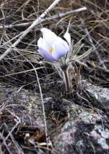 Pasque Flower on the Rocks-2