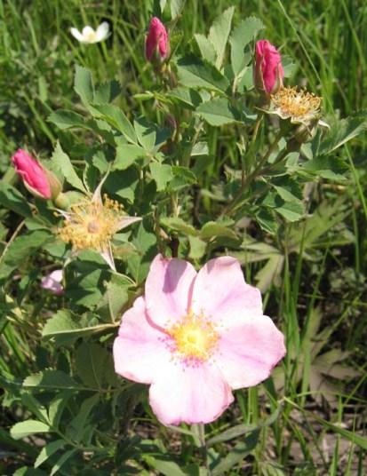 Pasture Rose