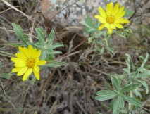 Prairie Golden-Aster-2 (Hairy False Goldenaster)