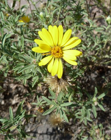 Prairie Golden-Aster-3 (Hairy False Goldenaster)