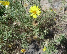 Prairie Golden-Aster-4 (Hairy False Goldenaster)
