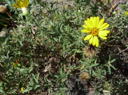 Prairie Golden-Aster-5 (Hairy False Goldenaster)