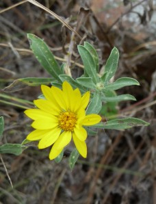 Prairie Golden-Aster (Hairy False Goldenaster)