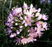 Prairie Onion (2)