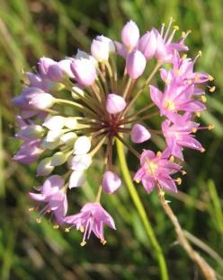 Prairie Onion (3)