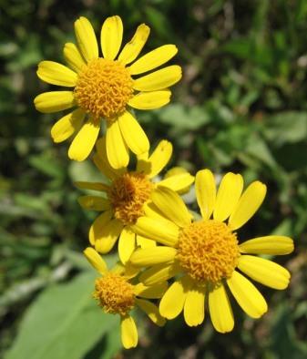 Prairie Ragwort 2