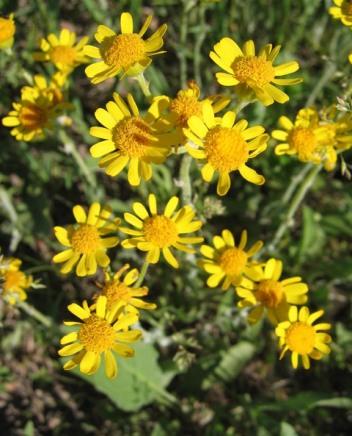 Prairie Ragwort 3
