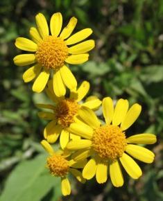 Prairie Ragwort 4