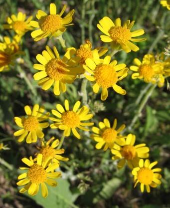 Prairie Ragwort 5