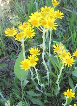 Prairie Ragwort