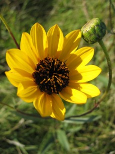 Prairie Sunflower 2