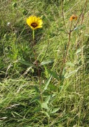 Prairie Sunflower 3