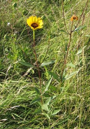 Prairie Sunflower 3