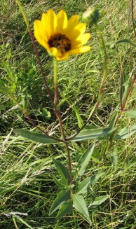 Prairie Sunflower 4