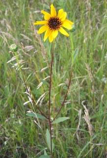 Prairie Sunflower 5