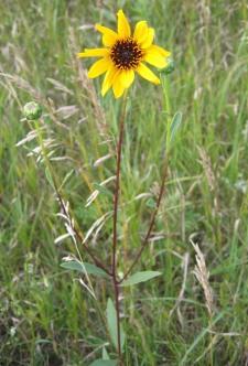 Prairie Sunflower 5