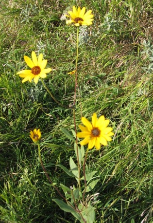 Prairie Sunflower 6