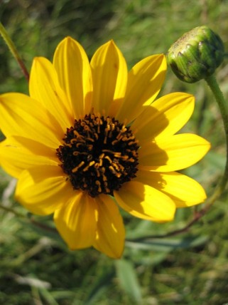 Prairie Sunflower 7