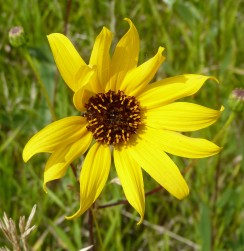 PrairieSunflower-2