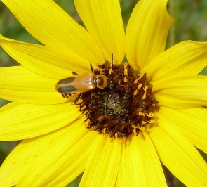 PrairieSunflower-3