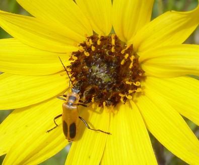 PrairieSunflower-4