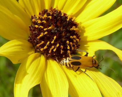PrairieSunflower-5