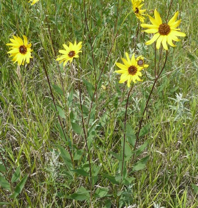 PrairieSunflower