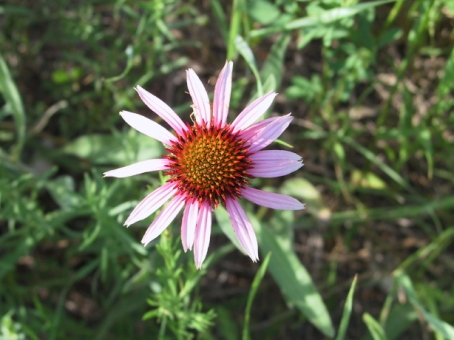 Purple Coneflower 2