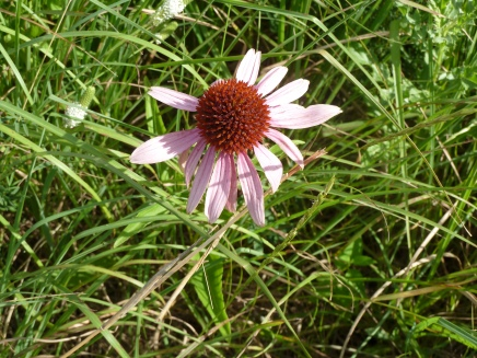 Purple Coneflower-2