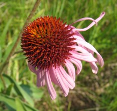 Purple Coneflower 3