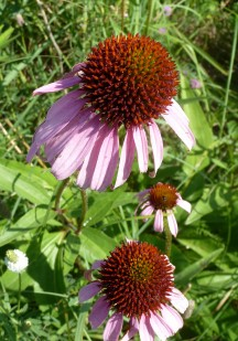 Purple Coneflower-3