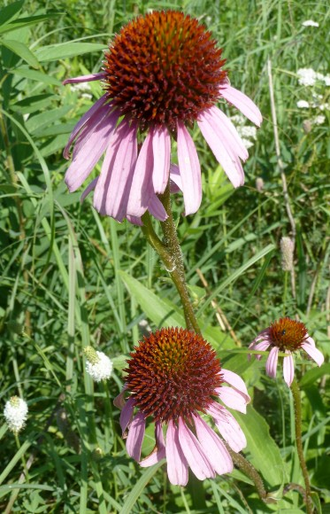 Purple Coneflower-4