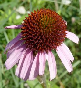 Purple Coneflower-5