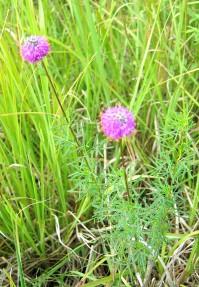 Purple Prairie Clover-1