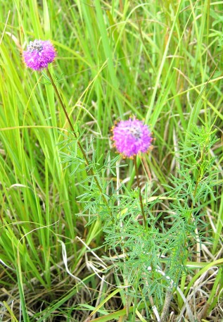 Purple Prairie Clover-1