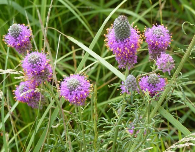 Purple Prairie Clover (2)
