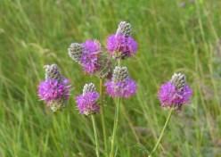 Purple Prairie Clover 2
