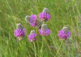 Purple Prairie Clover 2