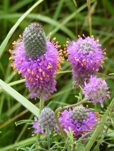 Purple Prairie Clover-2