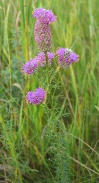 Purple Prairie Clover (3)