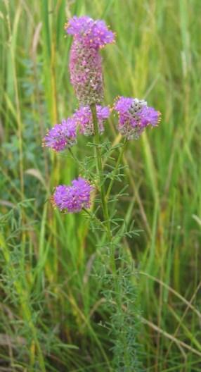 Purple Prairie Clover (3)