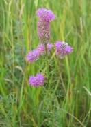 Purple Prairie Clover 3