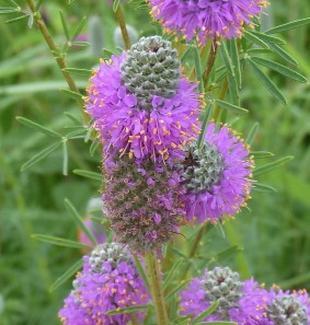Purple Prairie Clover-3