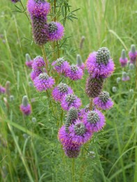 Purple Prairie Clover-4
