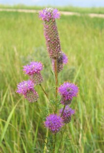 Purple Prairie Clover 5