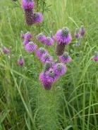 Purple Prairie Clover-5