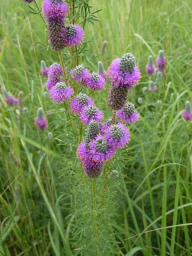 Purple Prairie Clover-5