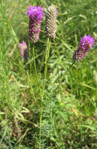 Purple Prairie Clover 6