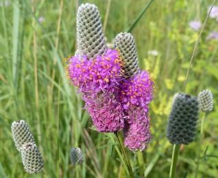 Purple Prairie Clover-6